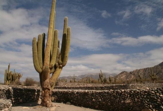 Cacti at Quilmes Ruins, Argentina