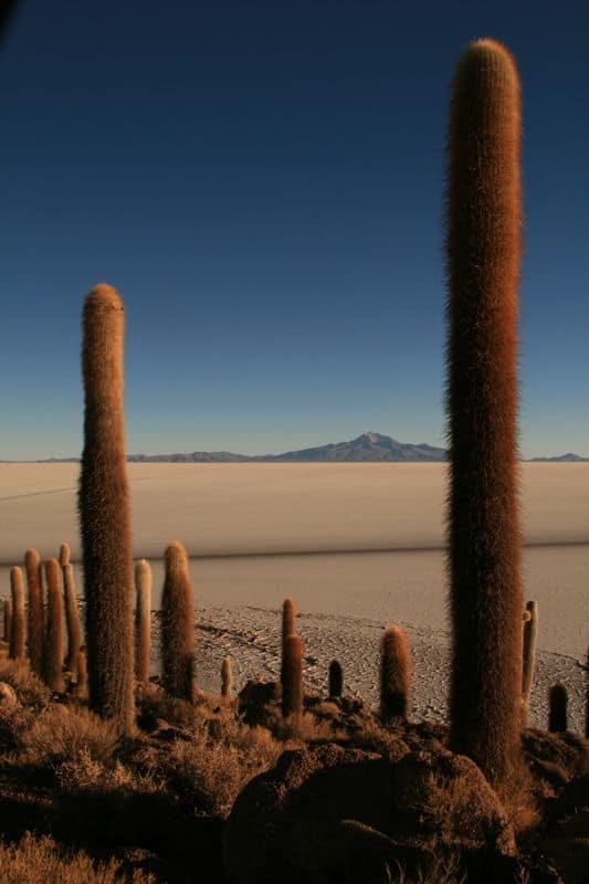 Cacti on Isla Incahuasi (Fish Island), Bolivian Salt Flats