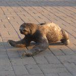 Sloth in Bolivia