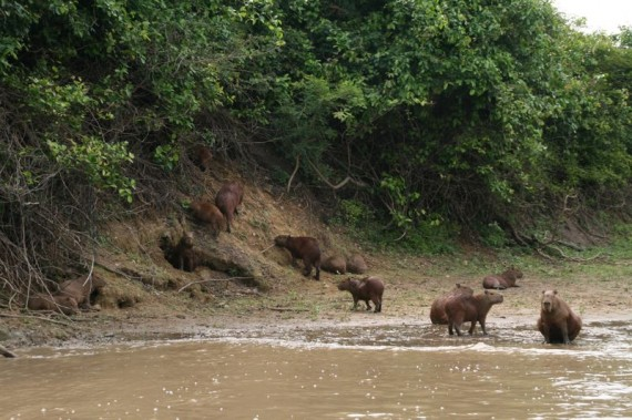 One of the many capybara families we canoed past