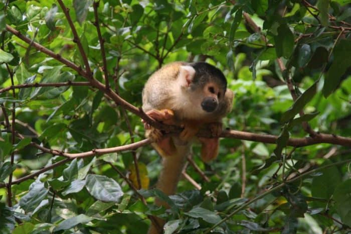 Squirrel monkey in the pampas