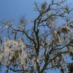 Tree covered in Spanish moss, Savannah