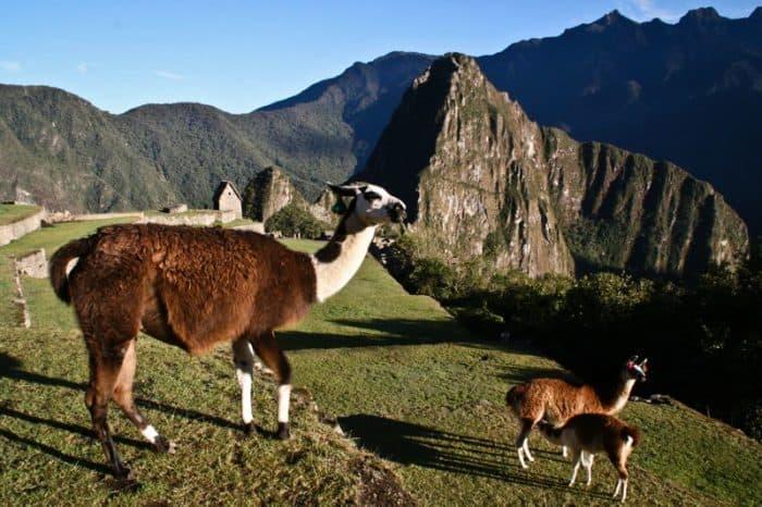 Llamas at Machu Picchu, Peru