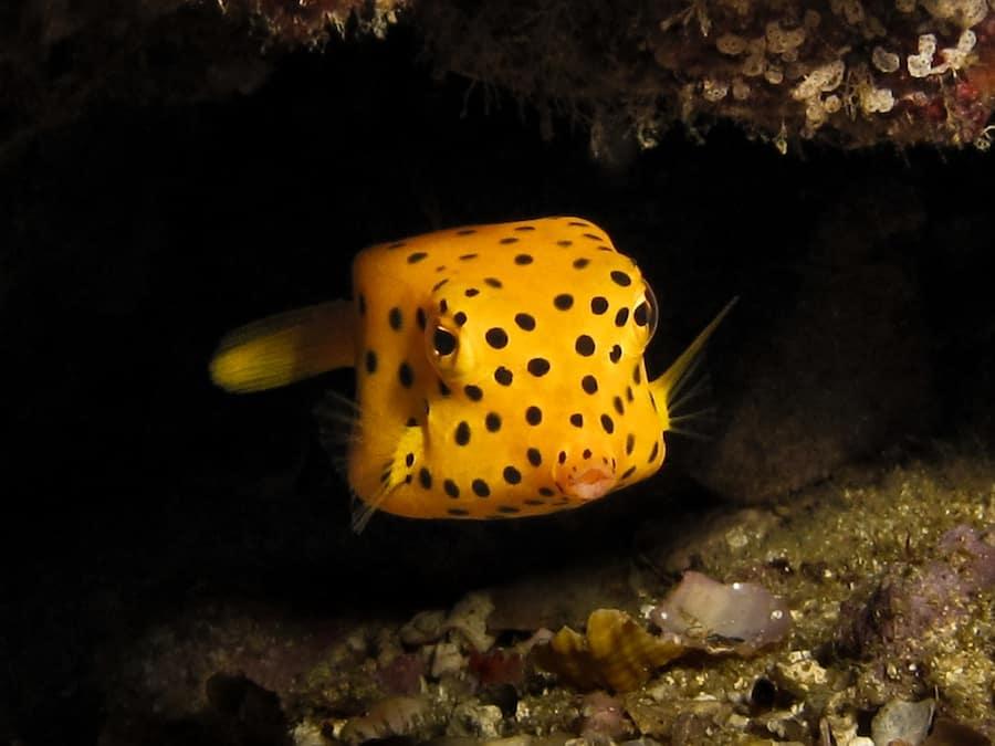 Yellow boxfish by Natasha Lambelin