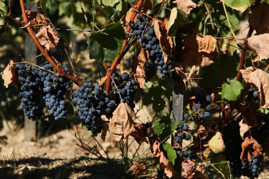 Quinta do Seixo grapes, Douro Valley 16