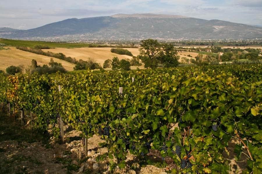 Dionigi vines