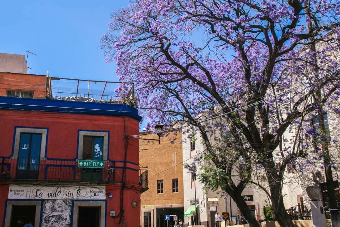 Jacaranda tree, Guanajuato