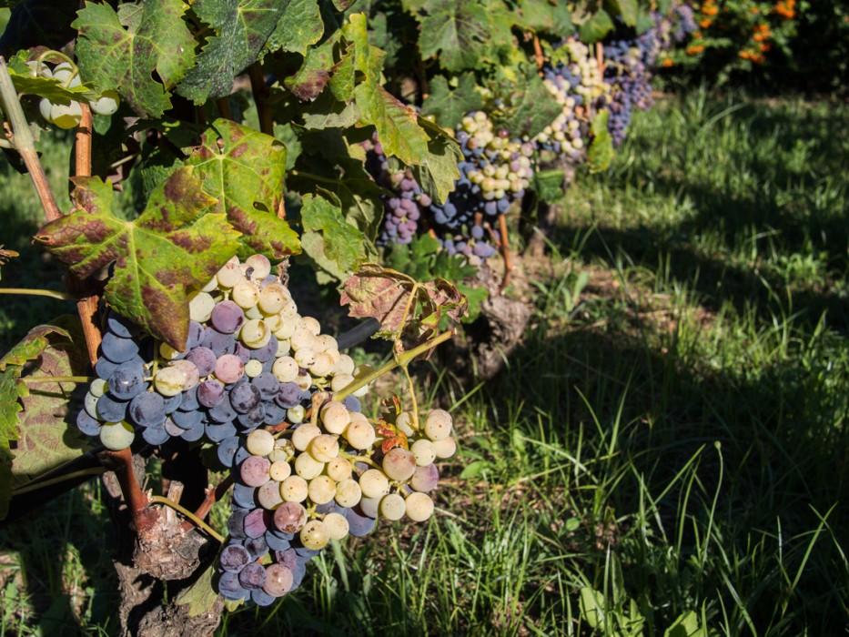Bombino nero grapes at Rivera winery
