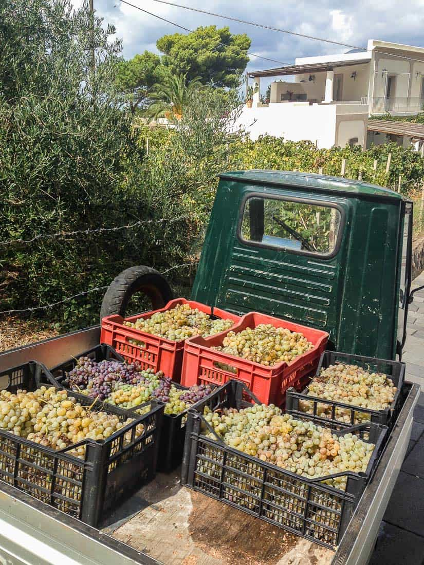 Harvesting Malvasia grapes, Malfa, Salina