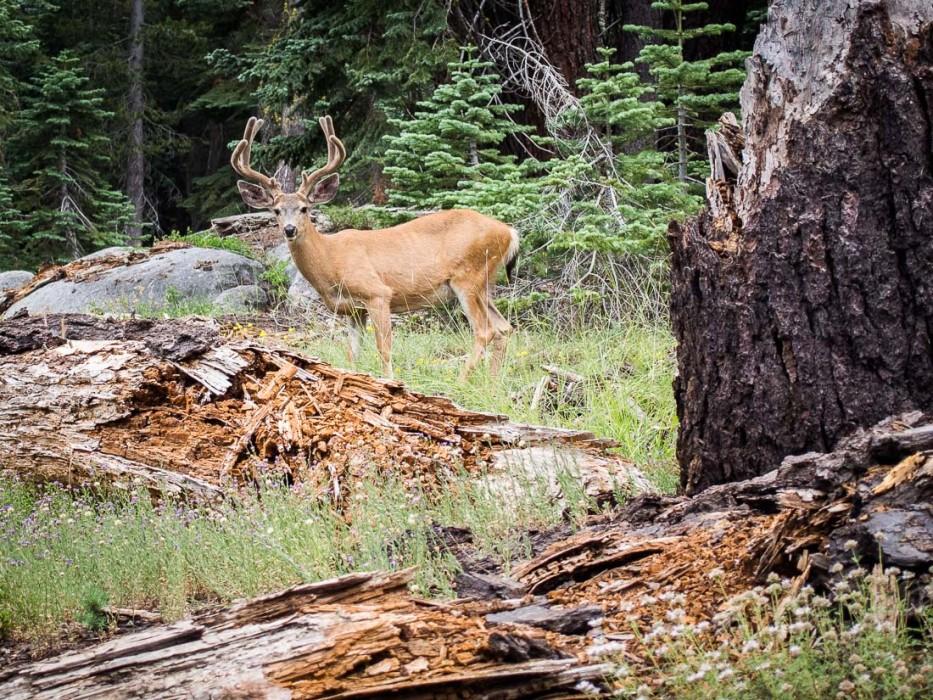 Deer on the Taft Point hike, Yosemite
