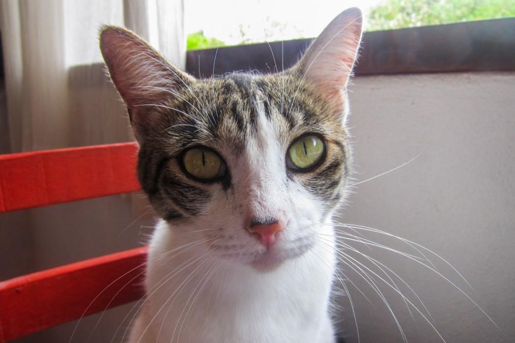San Pancho cat