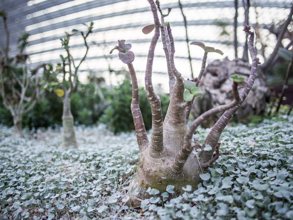Baby baobabs (?) in the Flower Dome