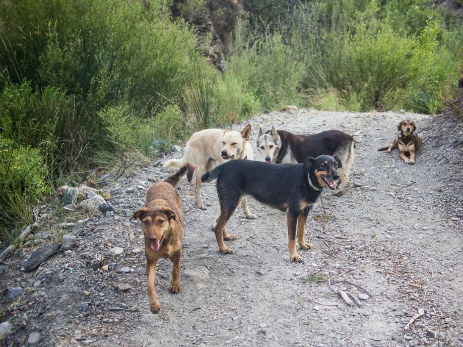 All five dogs on the evening walk