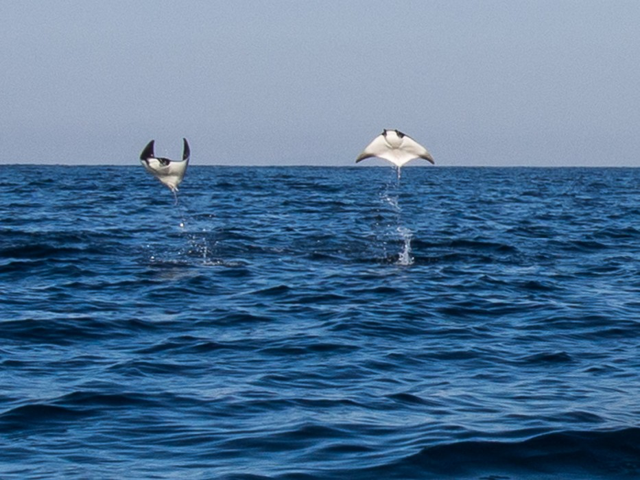 Manta rays jumping out of the sea, Puerto Escondido, Mexico