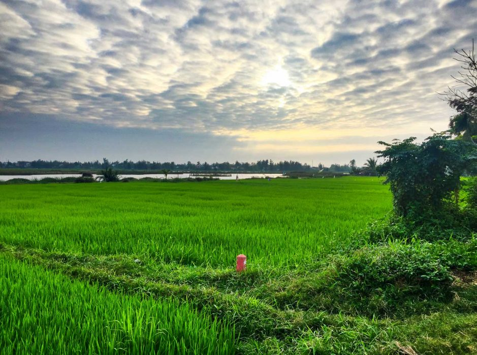 Rice fields near our house in Hoi An