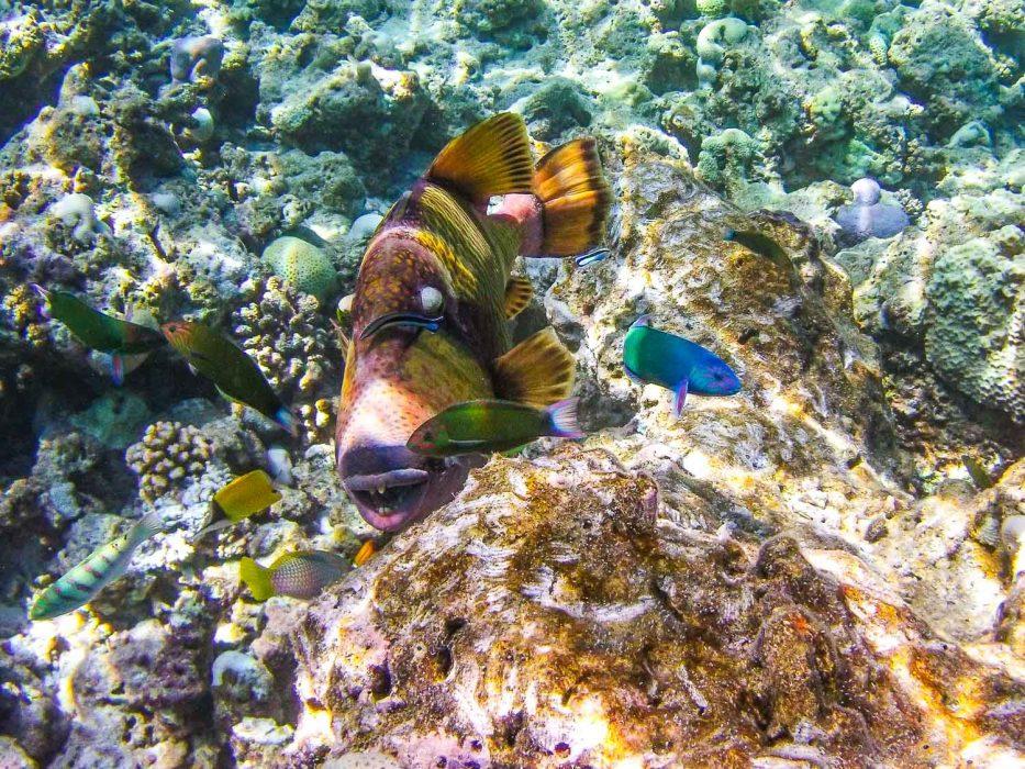 Reethi Beach Resort snorkelling in the Maldives -Titan Triggerfish
