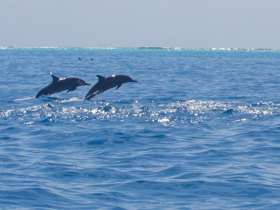 Dolphin safari at Reethi Beach Resort