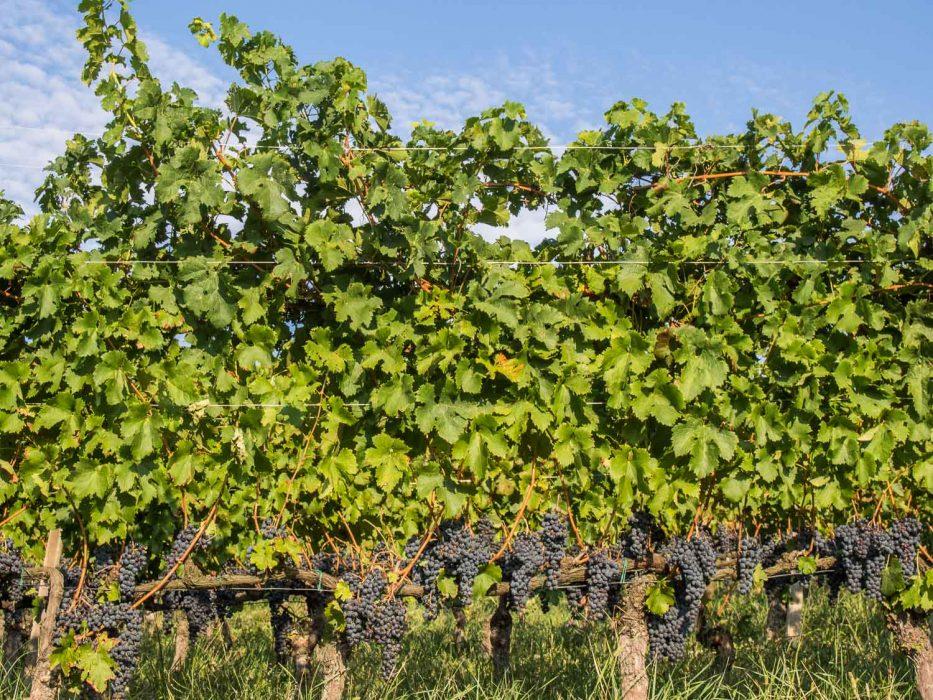 Langhe, Piemonte - vineyard in Barolo