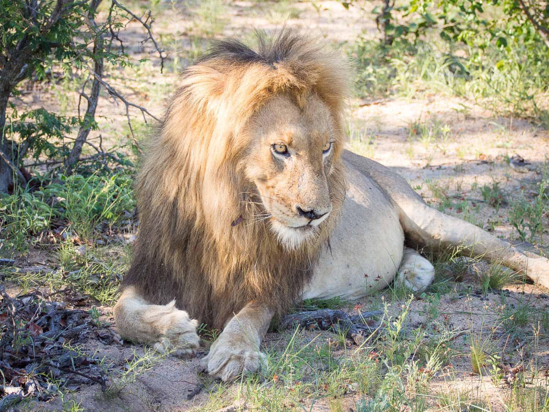 Lion on safari at Klaserie Sands River Camp