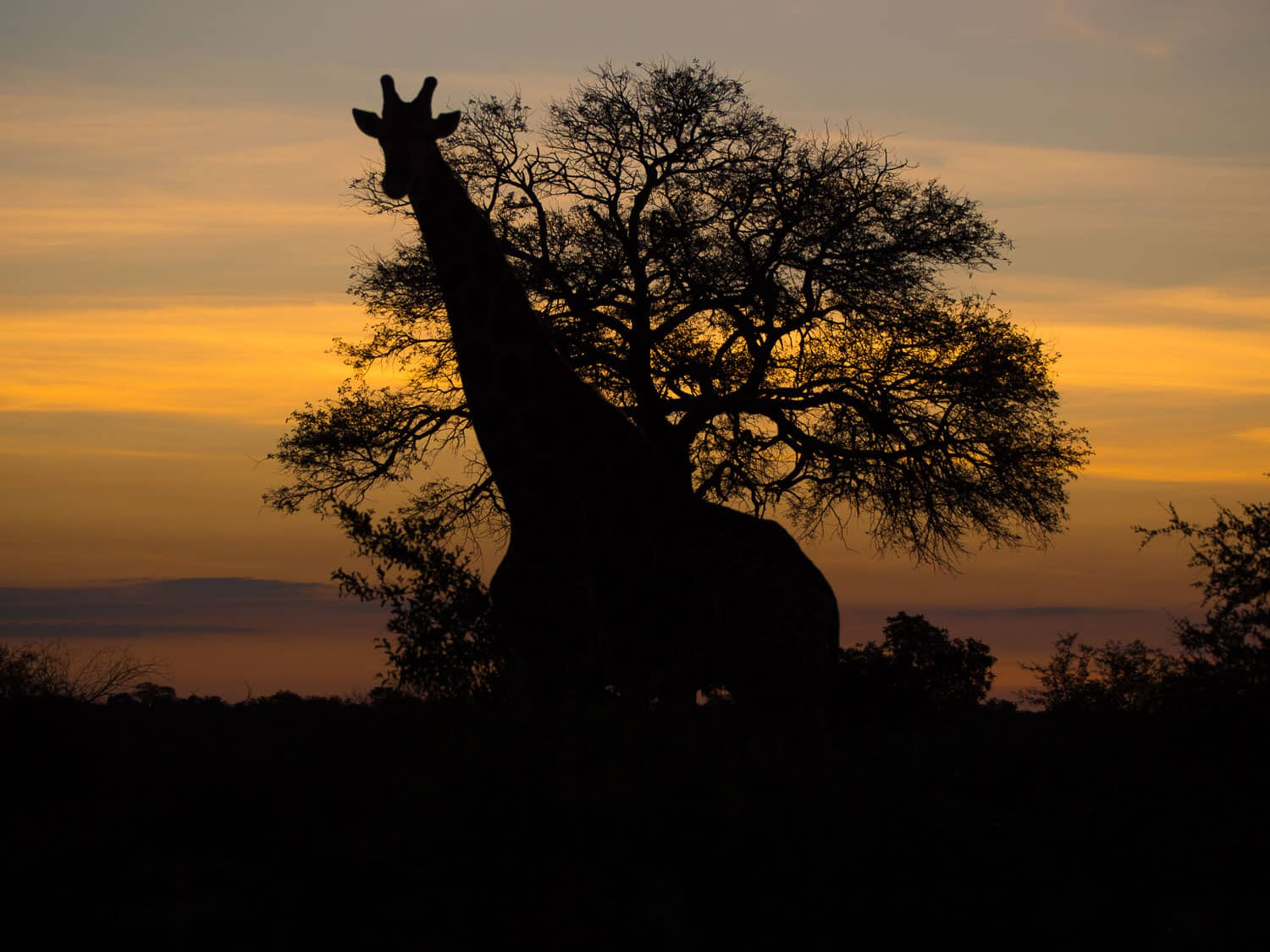 Giraffe silhouette at sunset on safari at Klaserie Sands River Camp, South Africa