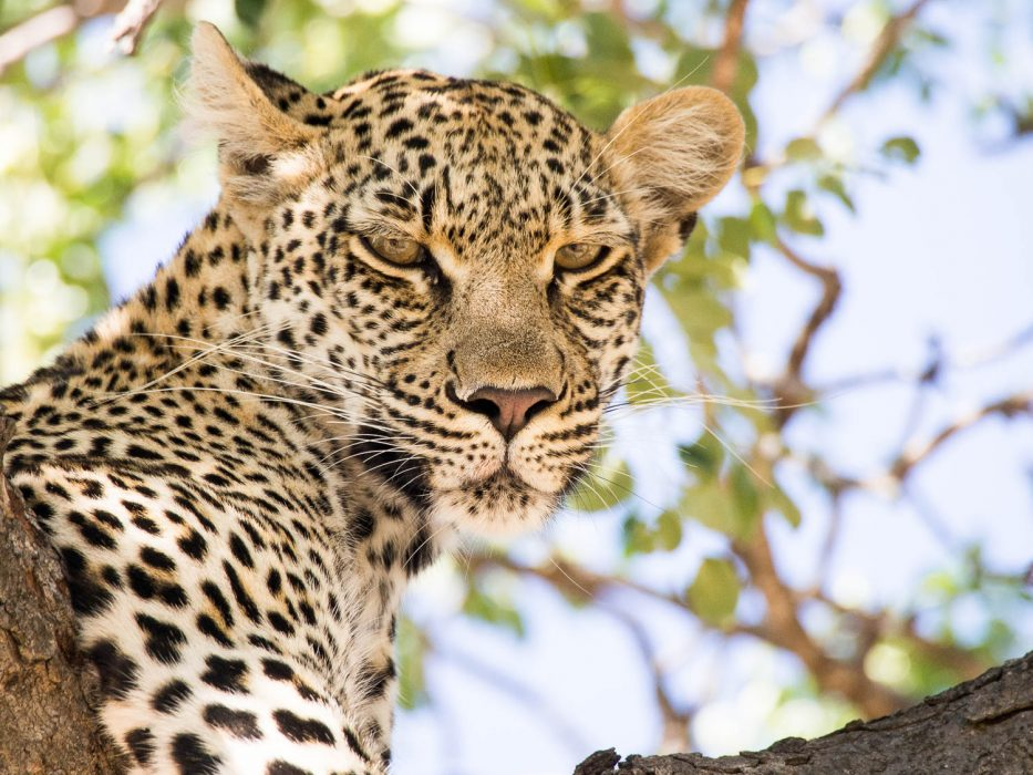 Umlani bushcamp review: leopard in a tree on a game drive