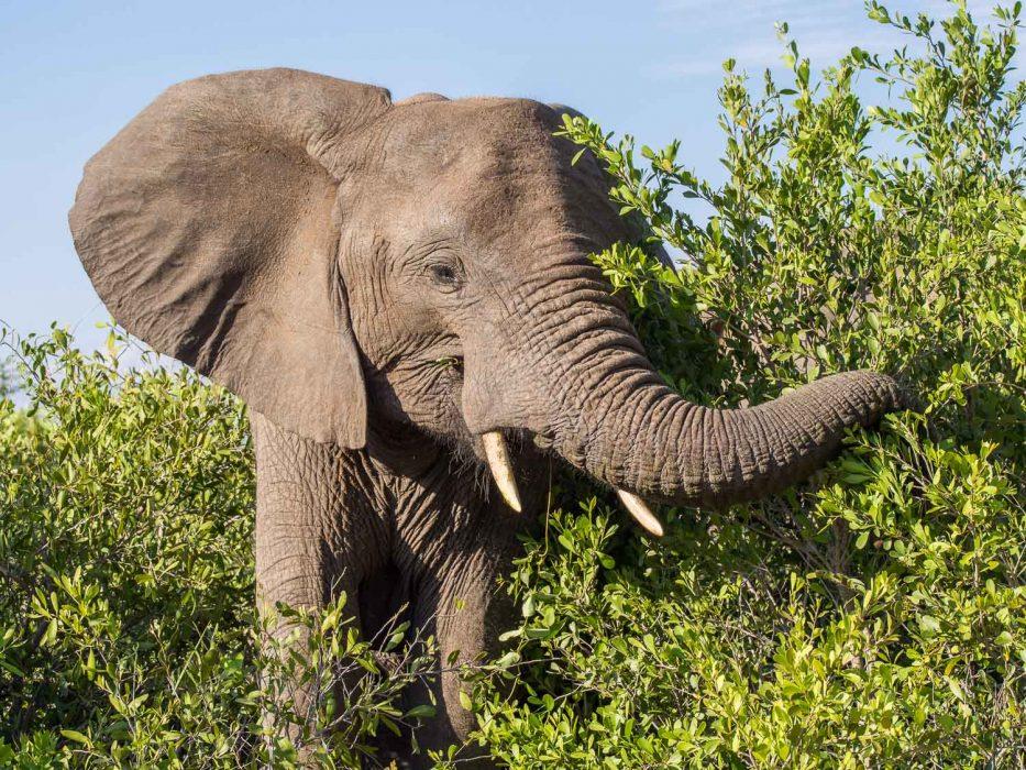 Elephant in Timbavati Reserve on safari with Umlani Bush Camp