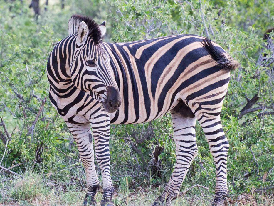 Zebra in Timbavati on safari with Umlani Bush Camp
