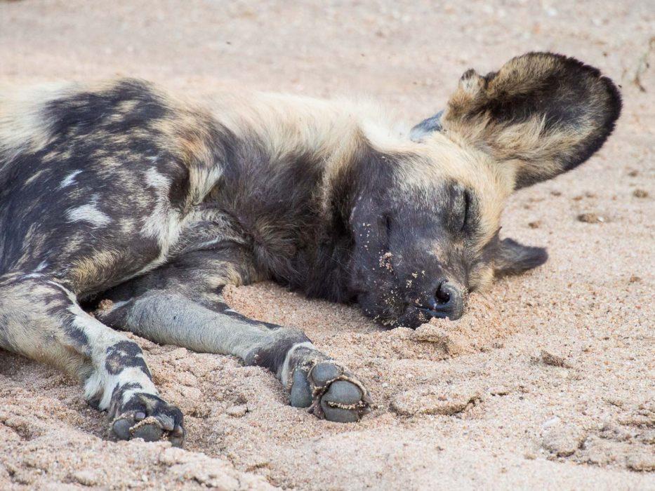 Sleeping wild dog in Timbavati Reserve on an Umlani Bush Camp game drive