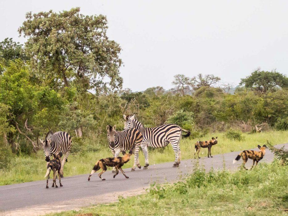 African wild dogs and zebra in Timbavati Reserve on safari with Umlani Bush Camp
