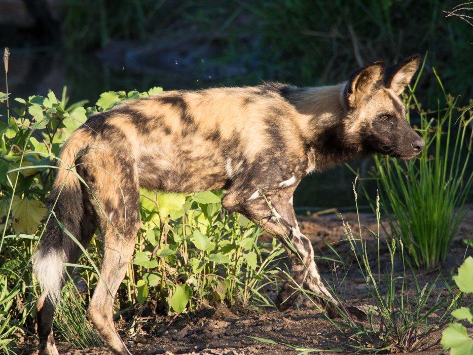 African wild dog in Timbavati Reserve on safari with Umlani Bush Camp
