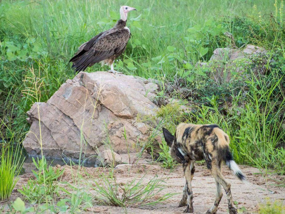 African wild dog and vulture in Timbavati Reserve on safari with Umlani Bush Camp