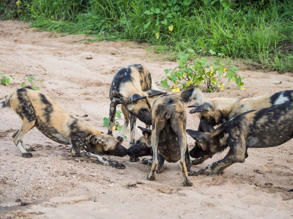 African wild dog greeting ceremony before a hunt in Timbavati Reserve on safari with Umlani Bush Camp