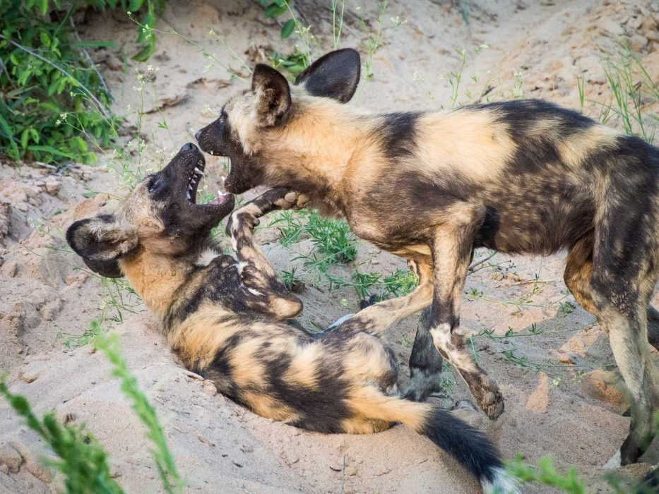 African wild dogs play fighting before a hunt in Timbavati Reserve on safari with Umlani Bush Camp