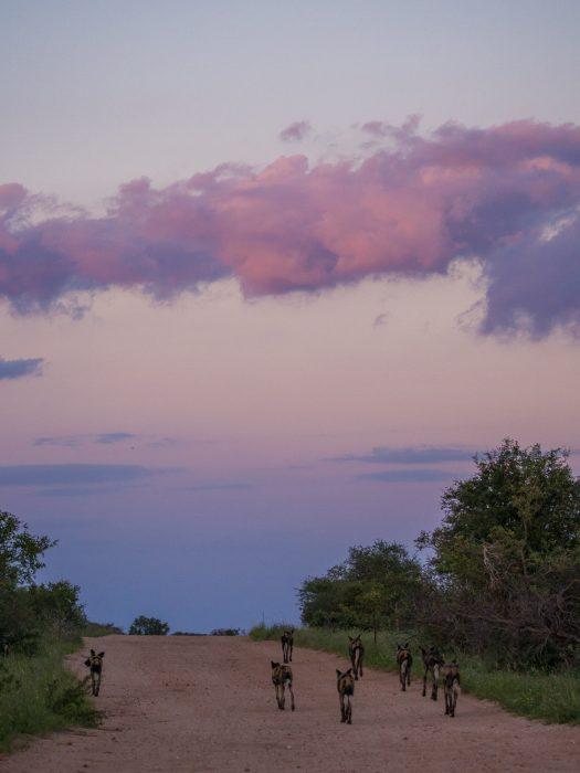 African wild dogs at sunset in Timbavati Reserve on safari with Umlani Bush Camp