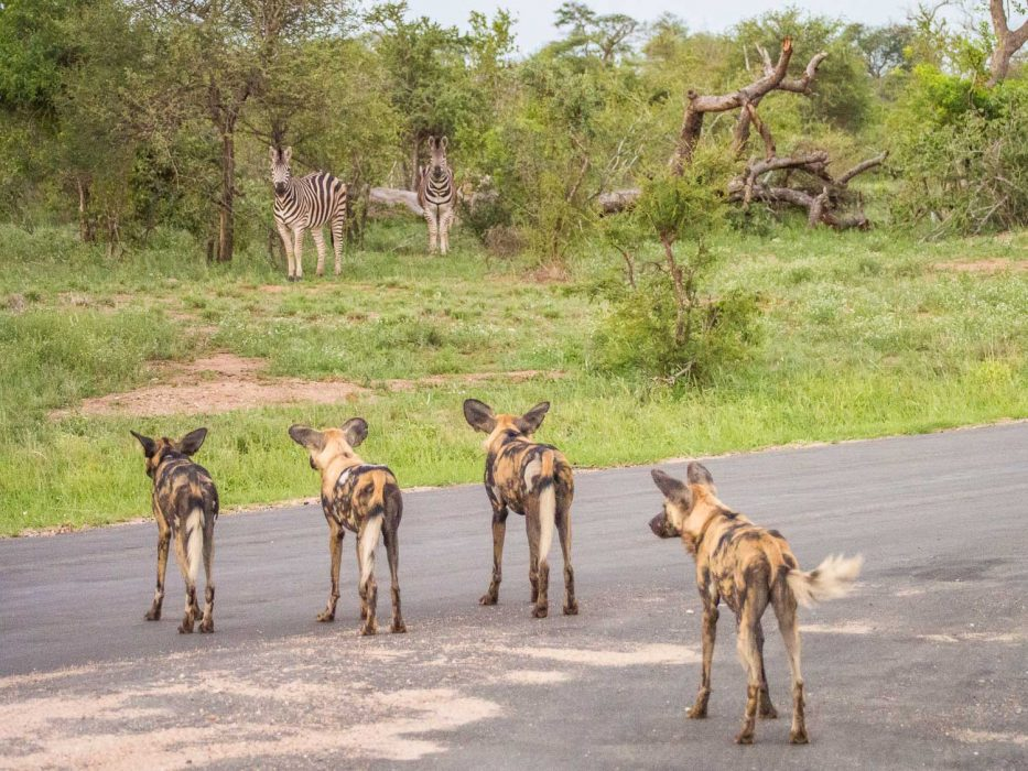 Wild dogs and zebras stand off in Timbavati Reserve