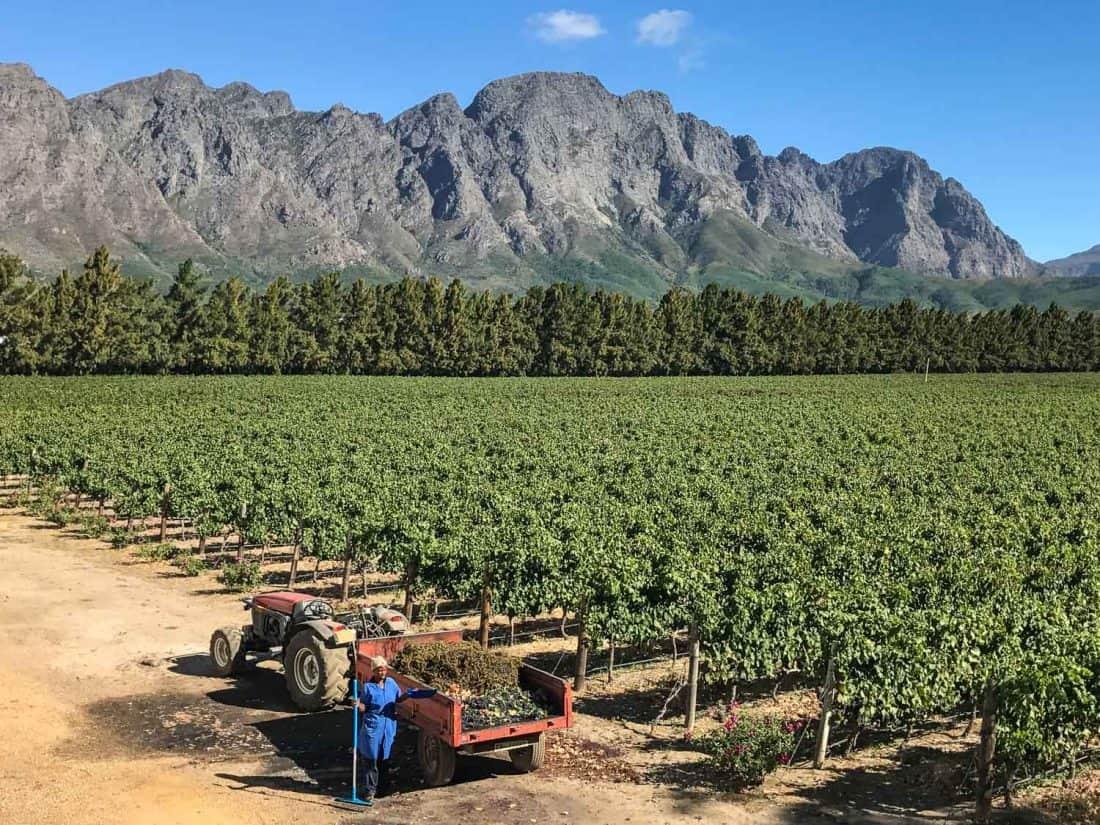 La Bri harvest on Franschhoek wine tram