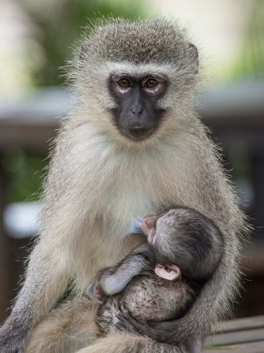 Vervet monkey with baby at the Tshokwane picnic area in Kruger