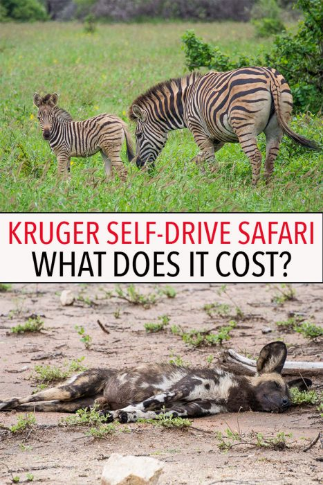 A safari in South Africa isn't as expensive as you think. Click through for a detailed breakdown of exactly how much it costs to do a self-drive safari in Kruger National Park.