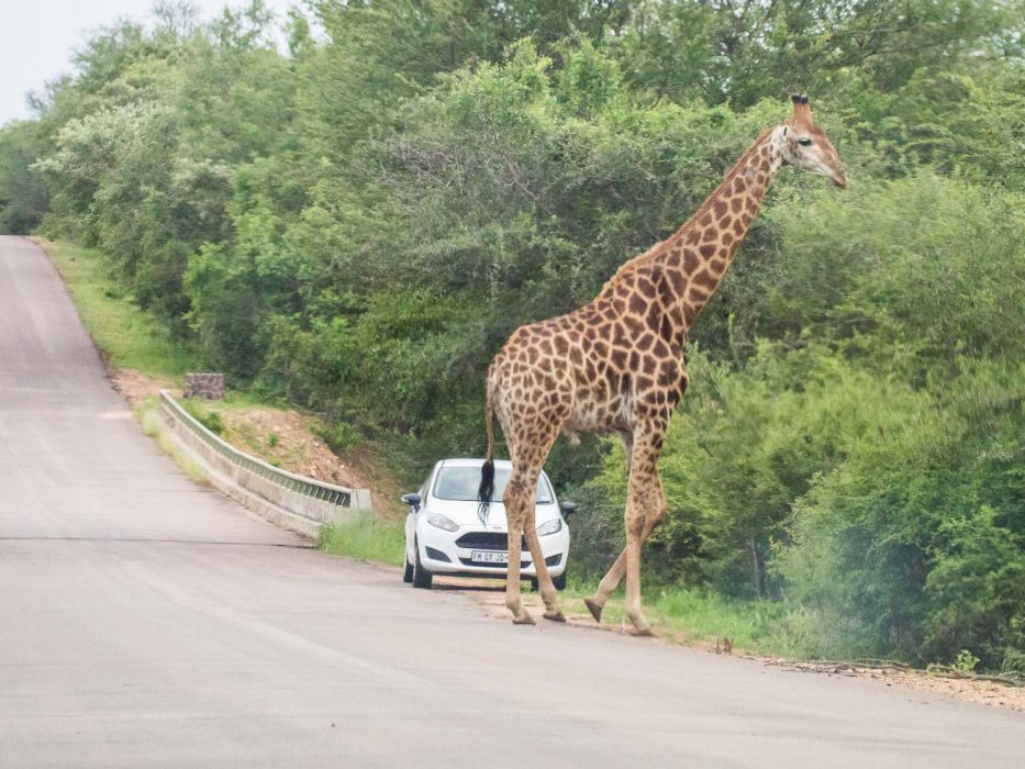 Kruger National Park self-drive costs - getting up close to a giraffe