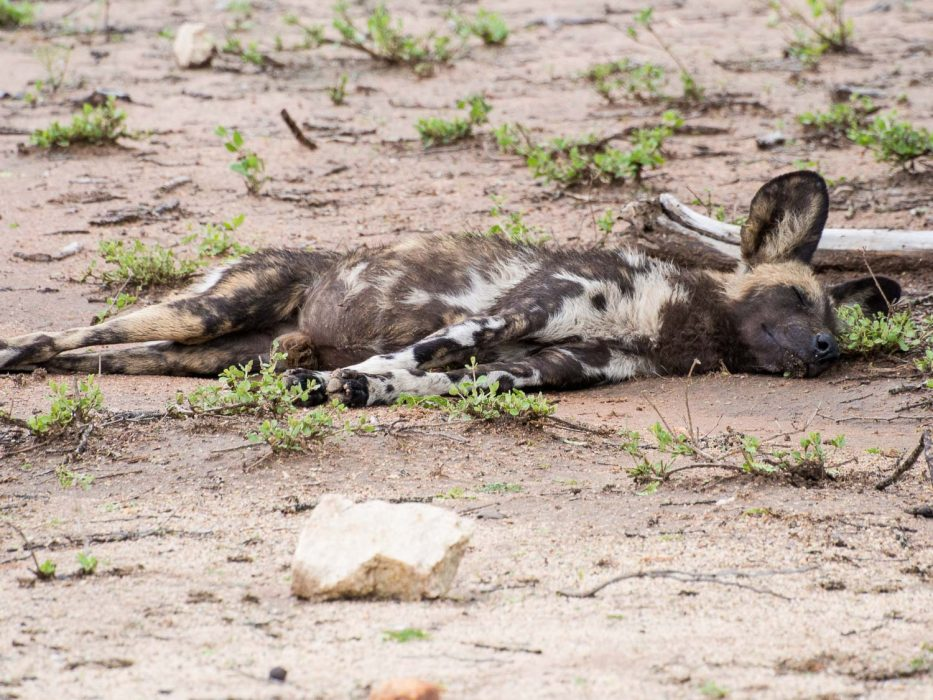 A rare African wild dog sleeping by the side of the road in Kruger National Park on a self-drive safari