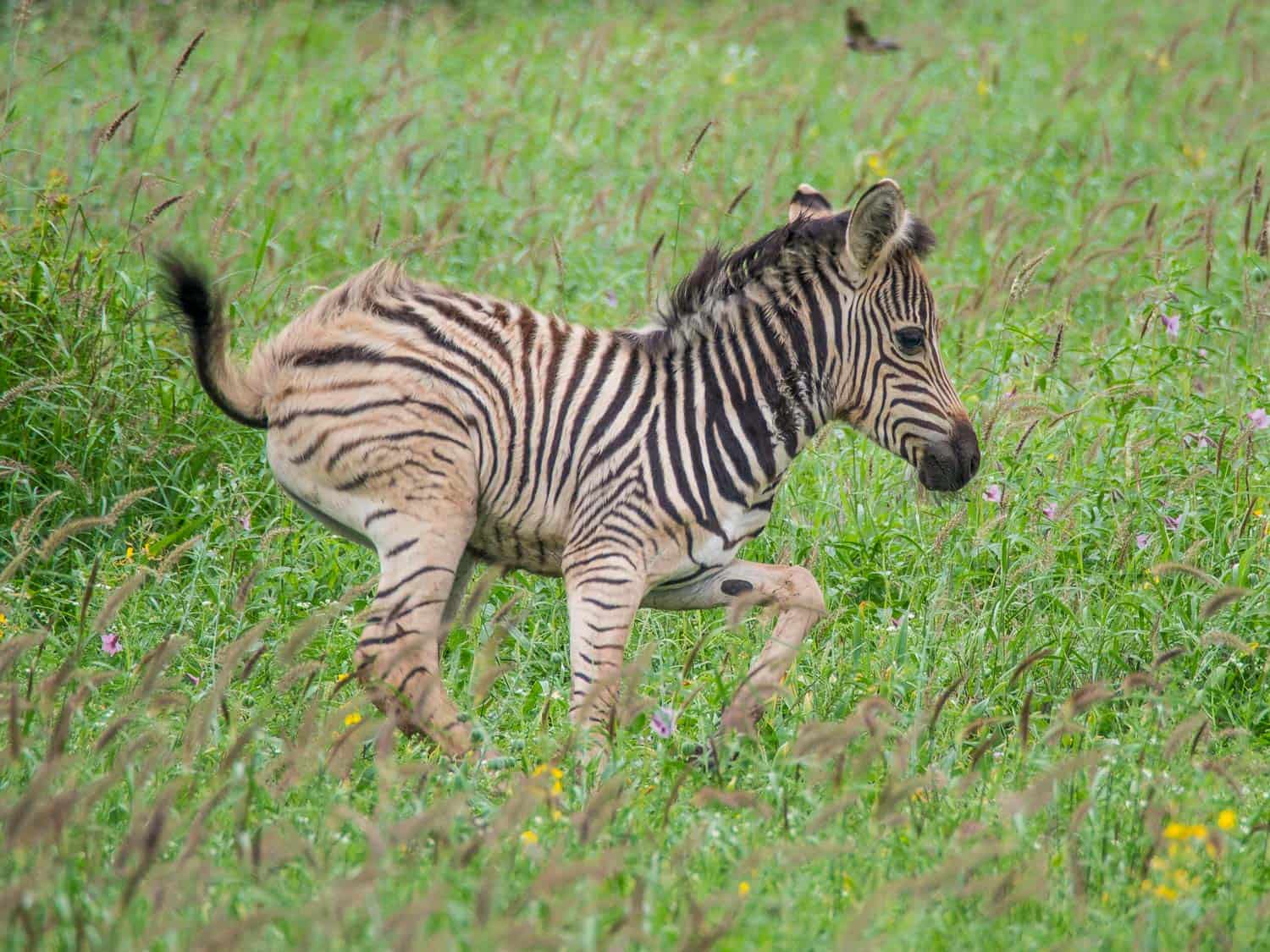 Baby zebra during the rainy season in Kruger National Park
