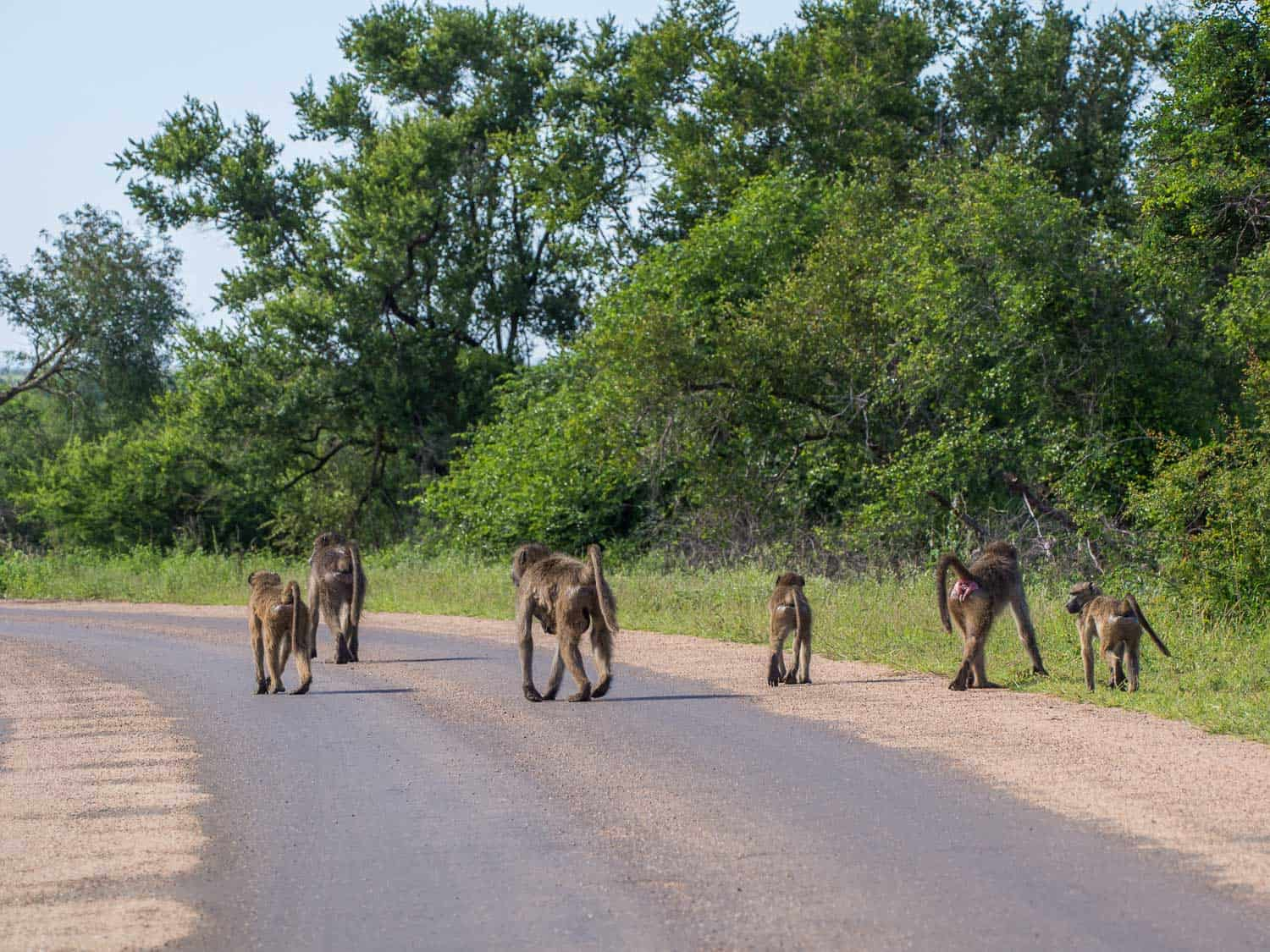 Baboons strolling down the road in Kruger National Park on our self-drive safari