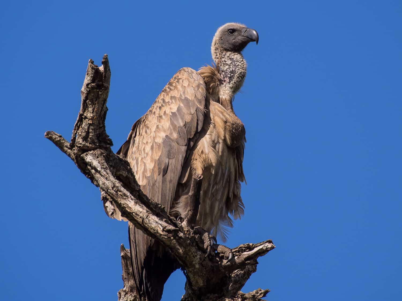 Vulture in Kruger National Park