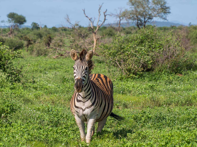 Zebra on a Kruger self-drive safari in South Africa