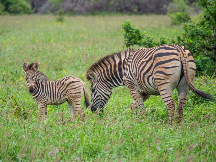 Kruger National Park self-drive costs - Zebras on a self-drive safari