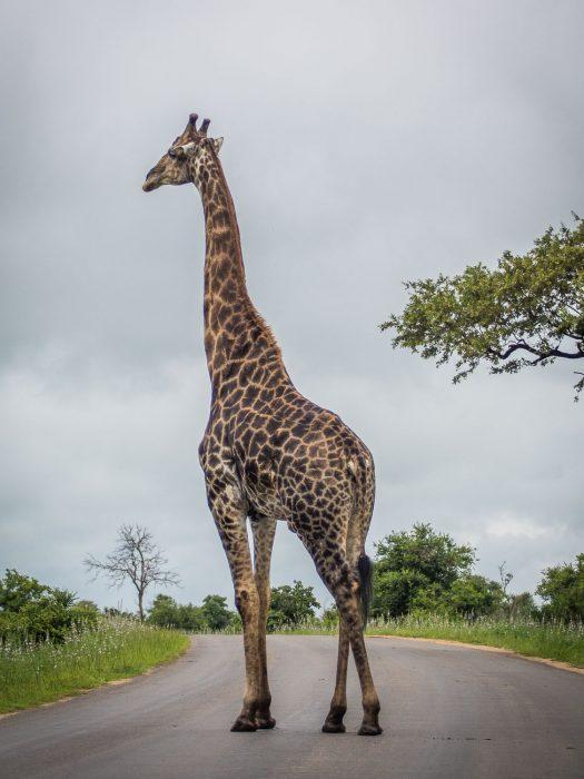 Giraffe in the road on a Kruger self-drive safari