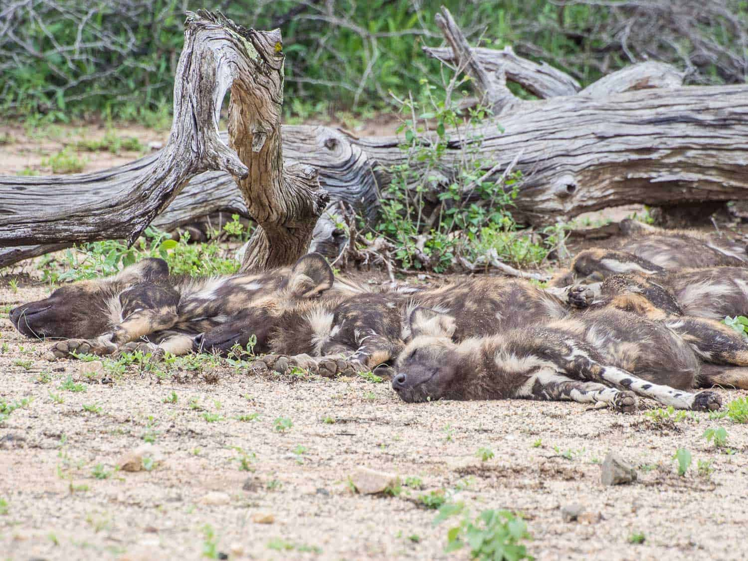 Wild dogs sleeping by the road on a Kruger road trip