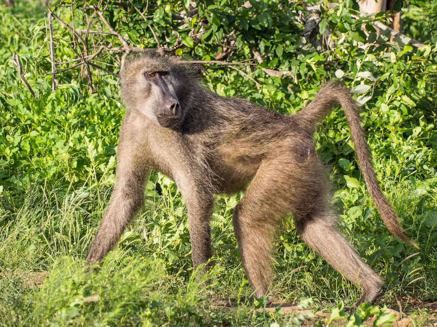 Baboon in Kruger