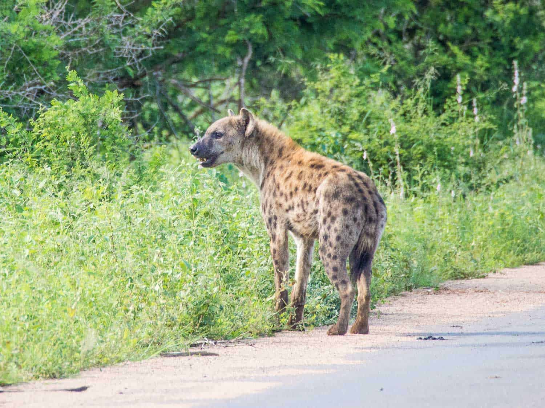 Spotted hyena in Kruger National Park