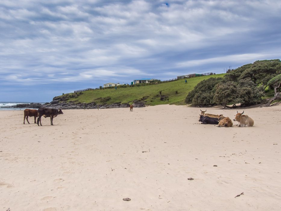 Cows on Hole in the Wall beach